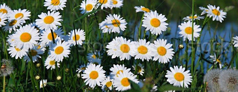 Bianco Daisy prato fiore acqua occhi Foto d'archivio © hamik