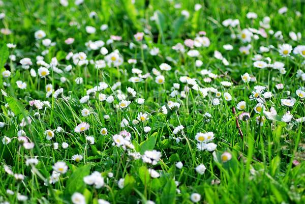 白 デイジーチェーン 夏 草原 春 葉 ストックフォト © hamik