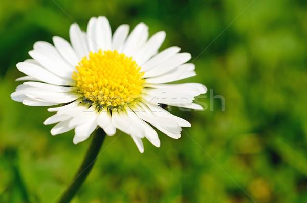 Branco margarida macro tiro belo grama Foto stock © hamik