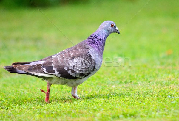 Pigeon Stock photo © hamik