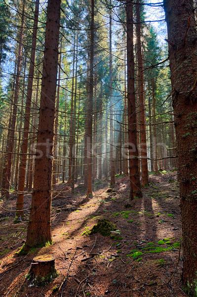 Enfeitar floresta velho árvore luz árvores Foto stock © hanusst