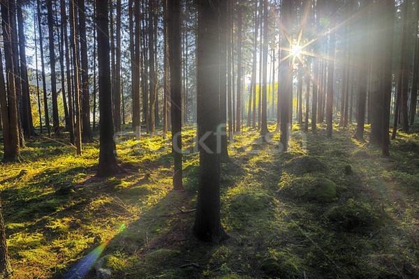 ель лес старые дерево трава природы Сток-фото © hanusst