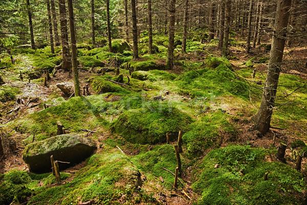 The primeval forest Stock photo © hanusst