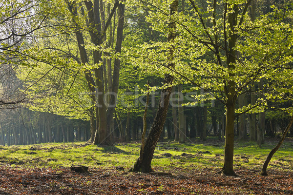 The forest in the morning Stock photo © hanusst