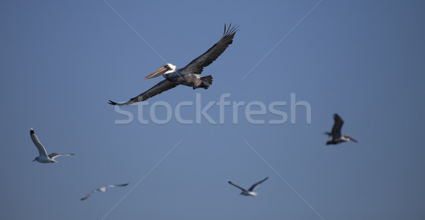 Flying Pelican Stock photo © hanusst