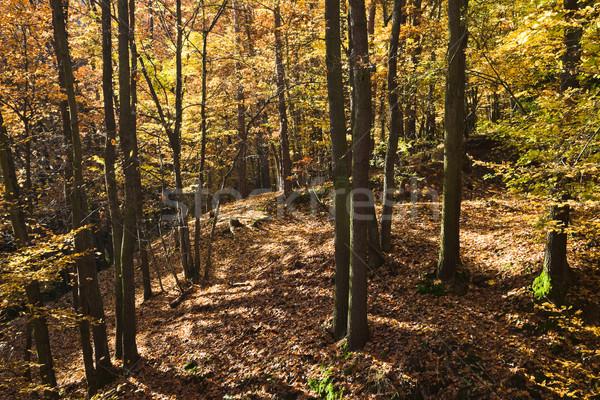 Dąb lasu starych dąb drzewo trawy Zdjęcia stock © hanusst