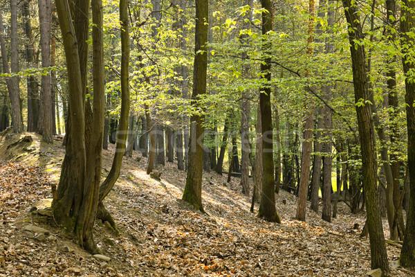 The primeval oak forest Stock photo © hanusst