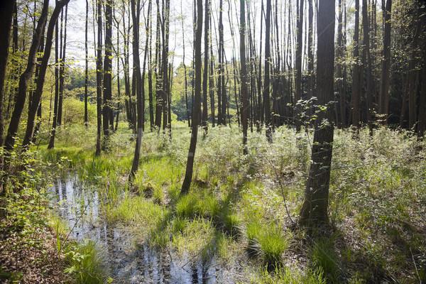 Hornbeam forest Stock photo © hanusst
