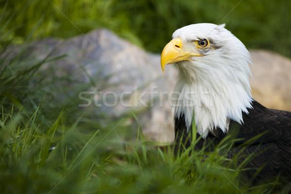 Bald Eagle Stock photo © hanusst