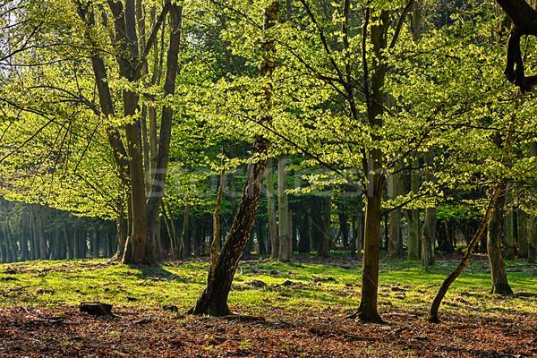 Forêt vieux arbre nature feuille fond Photo stock © hanusst