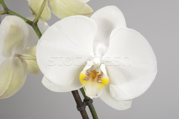 Branco orquídea flores neutro flor primavera Foto stock © hanusst