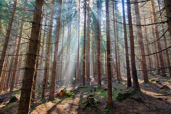 Sparren bos oude boom gras licht Stockfoto © hanusst