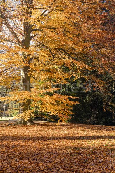 森林 午前 日照 自然 光 葉 ストックフォト © hanusst