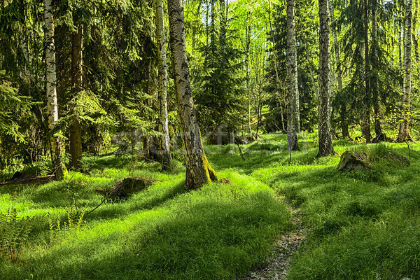 Bos sparren berk gras grond boom Stockfoto © hanusst