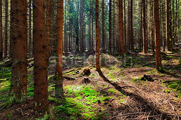 ель лес старые дерево свет фон Сток-фото © hanusst