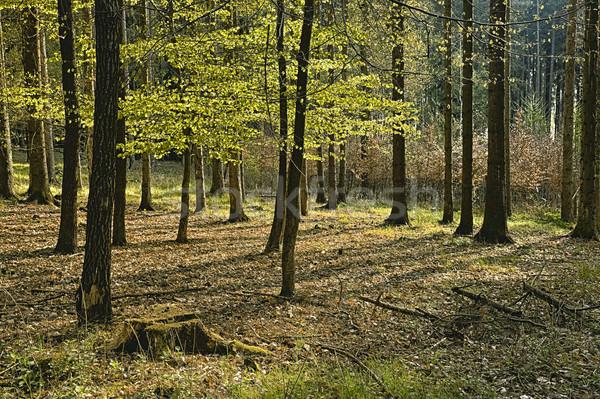 Foto stock: Floresta · velho · árvore · grama · paisagem · árvores