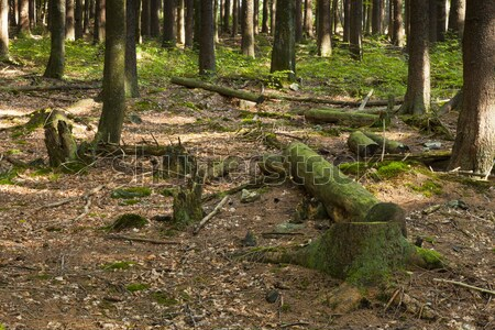 Photo stock: Forêt · arbre · printemps · nature · arbres · été