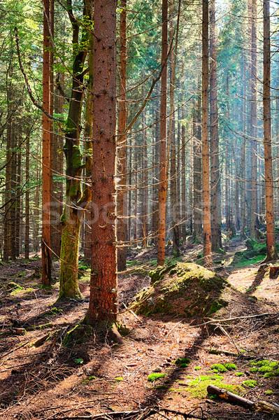 Sparren bos oude boom landschap licht Stockfoto © hanusst