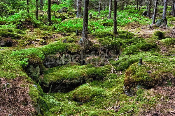 Stock photo: The primeval forest-HDR