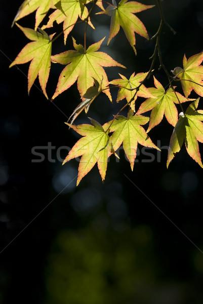 érable laisse branche arbre printemps forêt Photo stock © hanusst