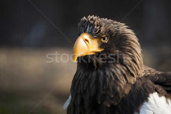 Sas keleti szándék néz fekete szem Stock fotó © hanusst