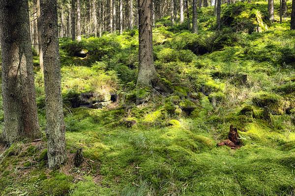 Bos natuur bomen zomer najaar plant Stockfoto © hanusst