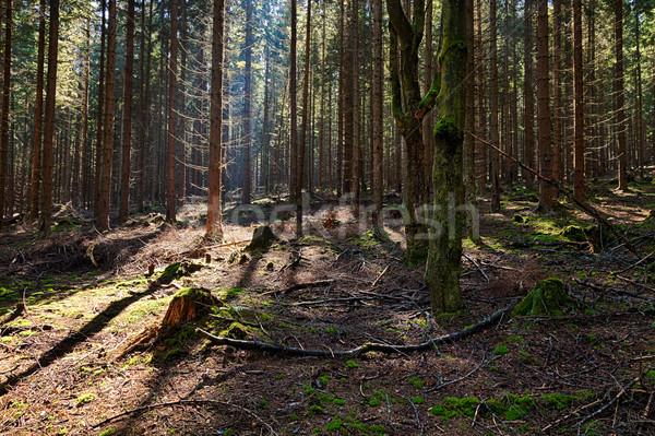 épinette forêt vieux arbre lumière beauté Photo stock © hanusst