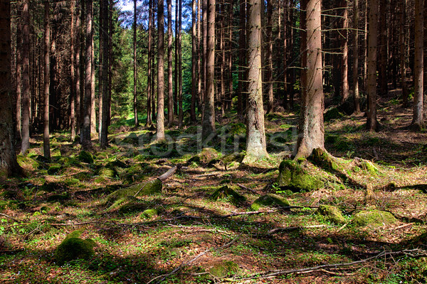 The spruce forest Stock photo © hanusst