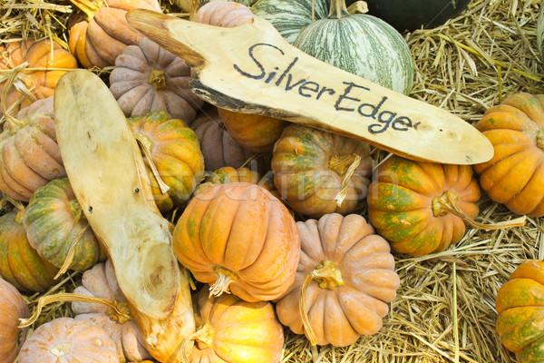 Silver Edge pumpkins collection in farm Stock photo © happydancing