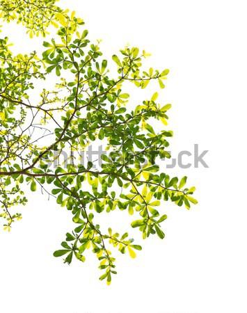 зеленый лист Blue Sky дерево древесины солнце природы Сток-фото © happydancing
