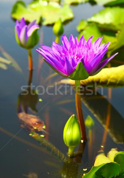 ストックフォト: 桜 · 蓮 · 花 · 池 · 水 · 自然
