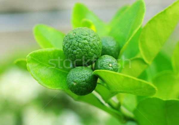 kaffir lime hanging on tree  Stock photo © happydancing