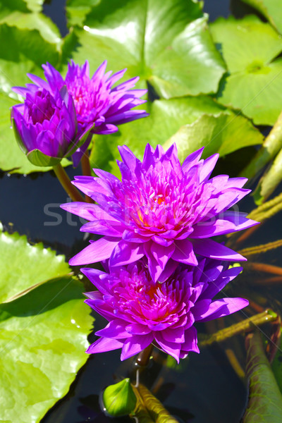 blossom lotus flowers in pond Stock photo © happydancing