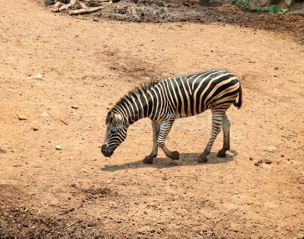 молодые зебры зоопарке текстуры природы портрет Сток-фото © happydancing