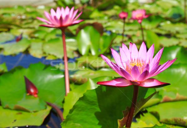 Bloesem lotus bloemen vijver water natuur Stockfoto © happydancing