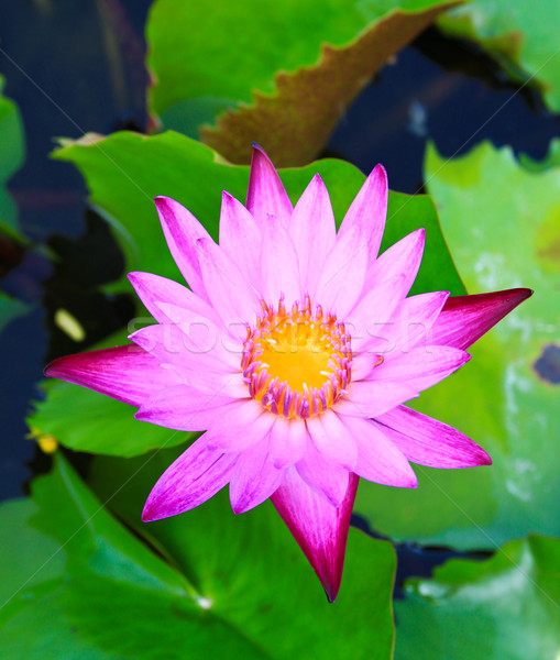 Beautiful blossom lotus flower in pond Stock photo © happydancing