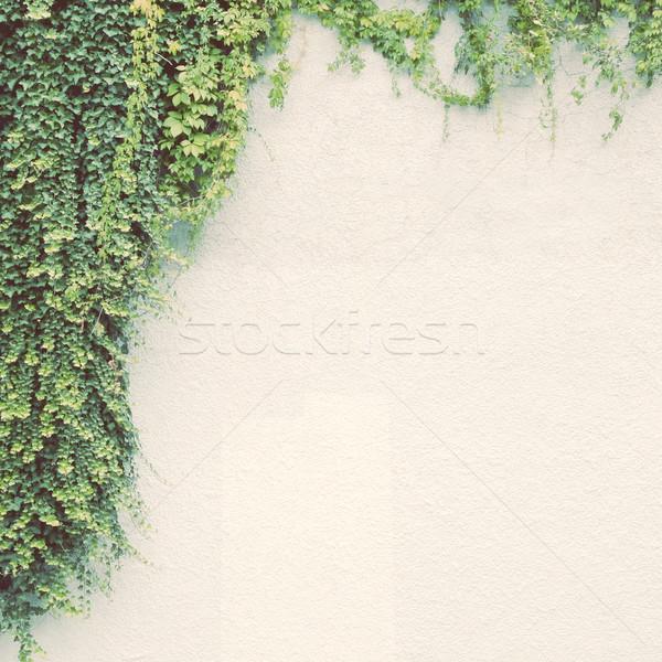 Borostyán növény fehér fal retro szűrő Stock fotó © happydancing