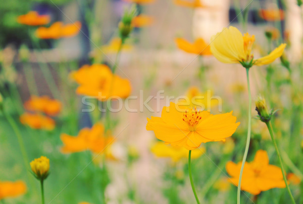 Yellow blossom flowers in the field with retro filter effect  Stock photo © happydancing