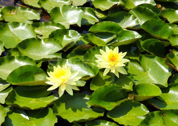 çiçek lotus çiçekler gölet su bahar Stok fotoğraf © happydancing