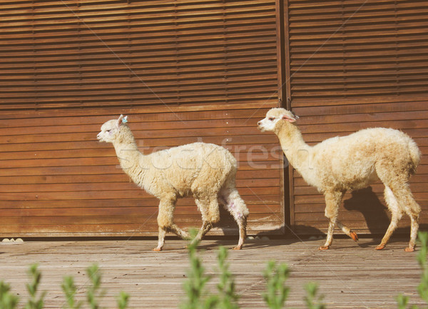Two alpacas walking in the farm with retro filter effect Stock photo © happydancing