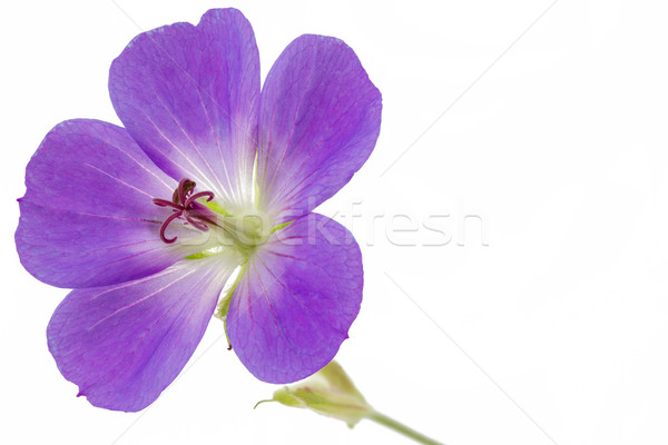 Purple Cranesbill flower on white background (Geranium) Stock photo © haraldmuc