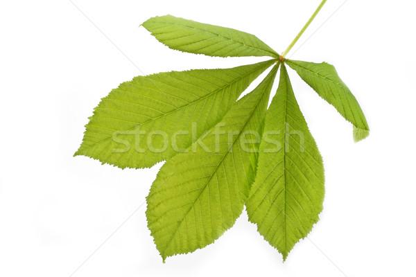 Single horse-chestnut leaf  Stock photo © haraldmuc