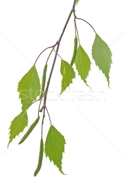 Nyírfa levelek tavasz fehér fa természet Stock fotó © haraldmuc