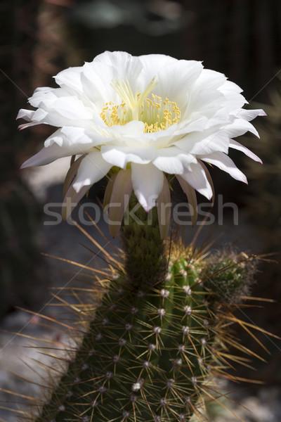Large Cactus flower (Echinopsis candicans) Stock photo © haraldmuc