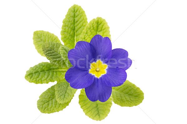 Prímula flor natureza fundo azul tempo Foto stock © haraldmuc