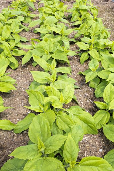 Topinambour (Helianthus tuberosus) plants Stock photo © haraldmuc