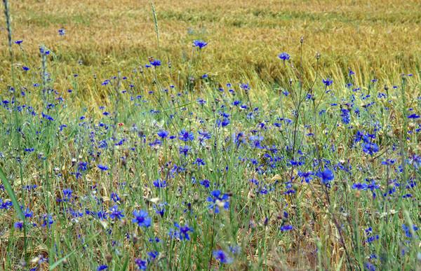 Duitsland voorjaar voedsel gras natuur zomer Stockfoto © haraldmuc