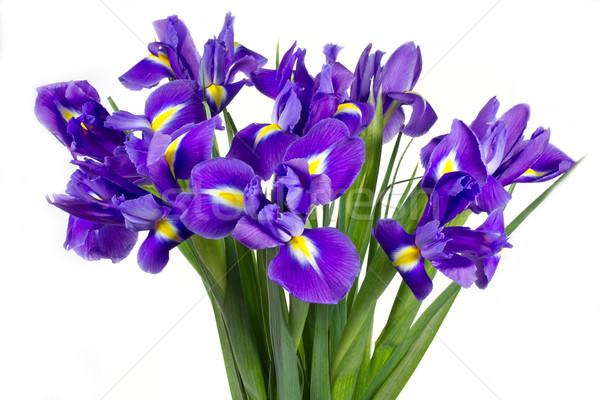 Dark purple iris flowers isolated on white Stock photo © haraldmuc