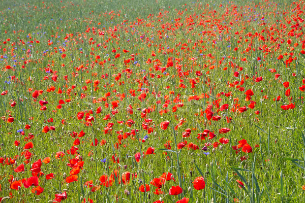 Blooming poppy field (Papaver Rhoeas) in Bavaria, Germany Stock photo © haraldmuc