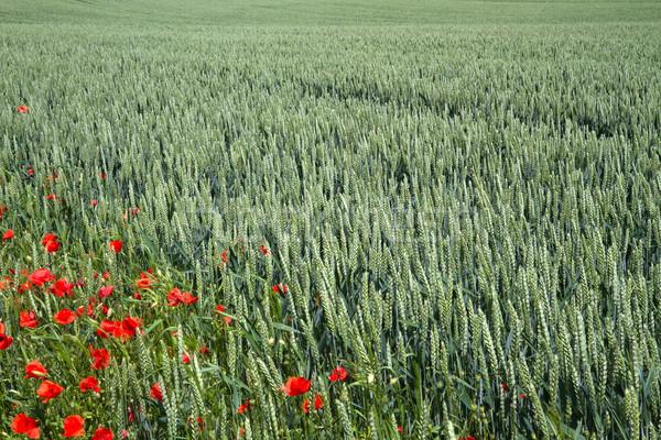 Wheat field in Bavaria, Germany Stock photo © haraldmuc